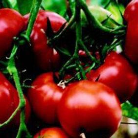 Tomato Saint Pierre_WEB