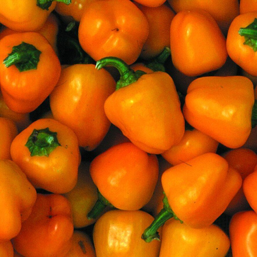 pepper-sweet-mini-bell-yellow
